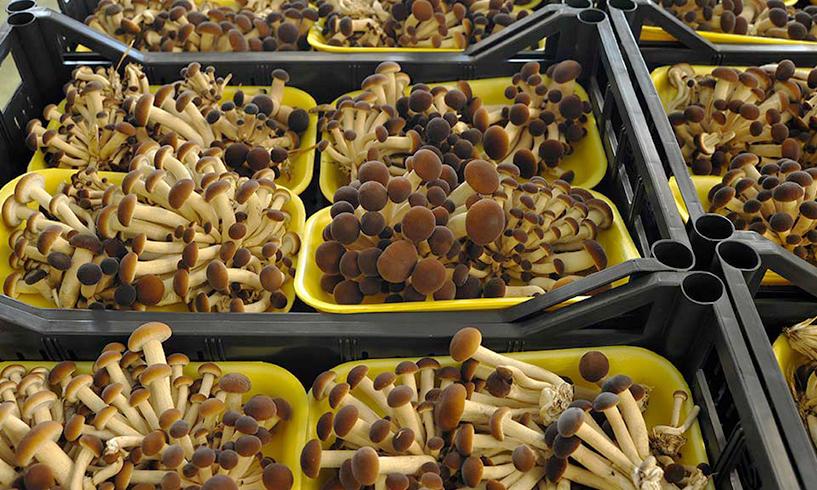 Sostenibilità e ottimizzazione della filiera produttiva dei funghi coltivati